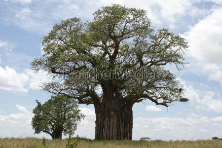 baoba africano