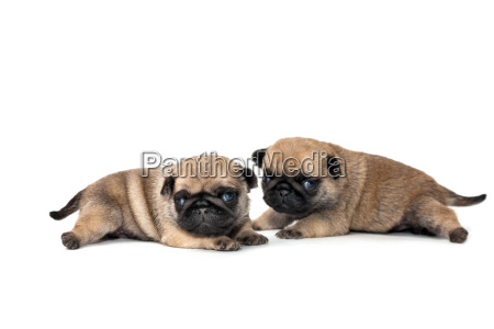 animal de estimacao cao cachorro pug