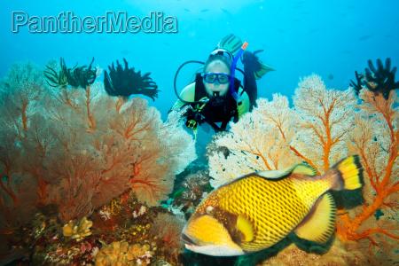 triggerfish e mergulhador