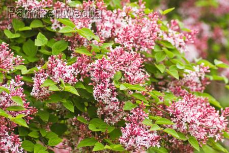 flor planta primavera lilas rosa syringa