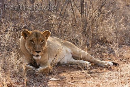 animal selvagem africa horizontalmente predador leoa