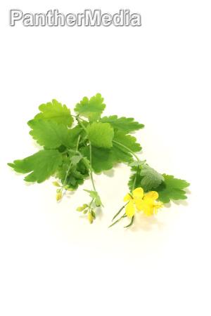 homeopatia plantas medicinais naturopatia homeopatico