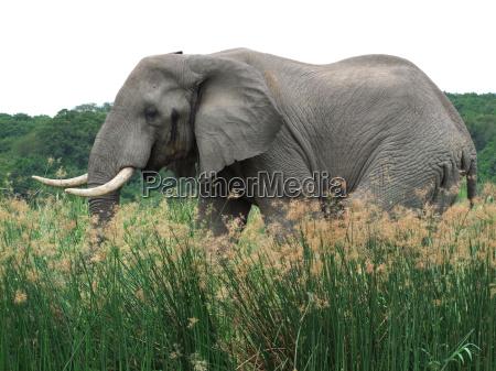 animal mamifero africa elefante safari de