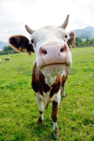 animal da vaca no campo