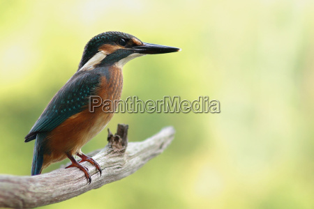 ambiente passaro animais passaros kingfisher natureza