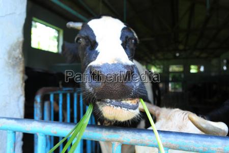 vaca na exploracao agricola
