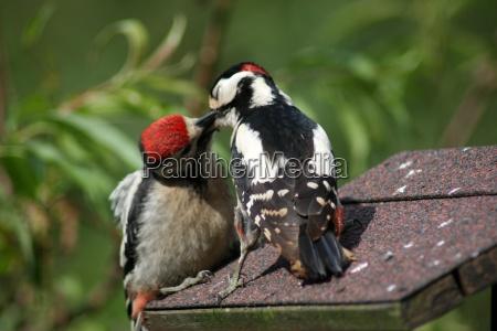 woodpecker colorido ao alimentar seu pintainho