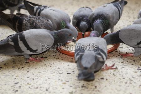 alimento passaros alimentar surdo pombos compartilhar
