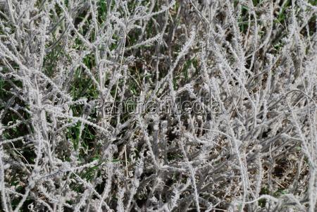 bugloss echium angustifolium natterheads natterhead