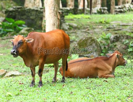 ambiente animal mamifero agricultura campo leite