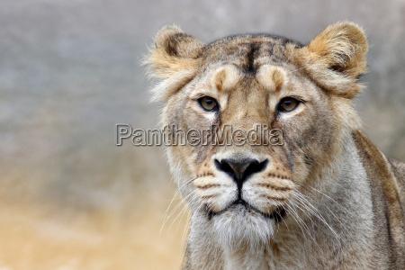 africa animais leao gato gatos leoa