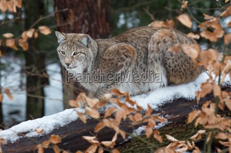 inverno animal marrom frio caucasiano predador
