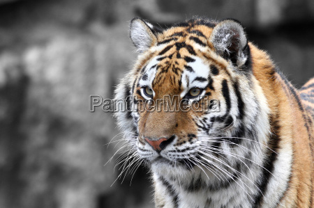 panthera tigris o tigre