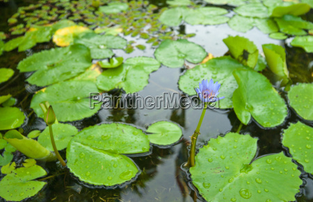 water lily in pond