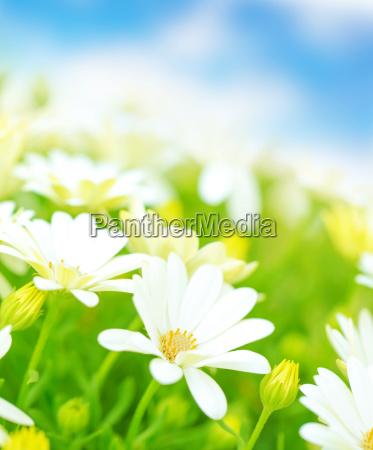 azul flor flores planta primavera margarida