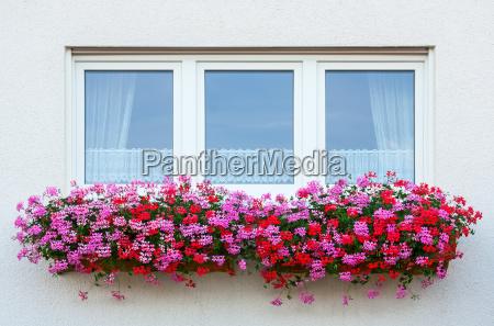 flor planta janela cortinas vitreo geranio