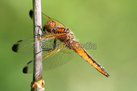 ambiente animais libelula libelulas cana natureza