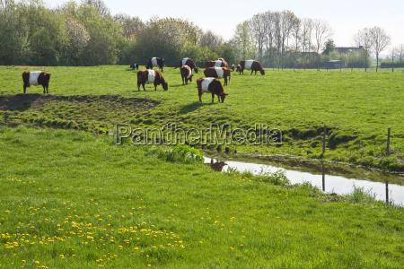 holanda vacas pais campos dutch belted