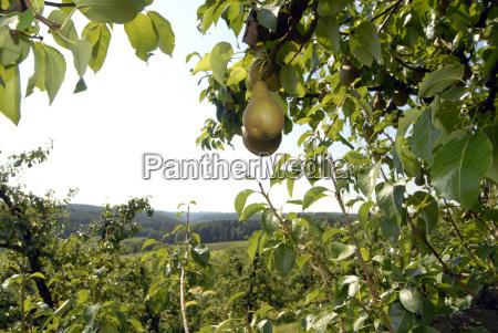 arvore fruta pera bulbo peras fruticultura