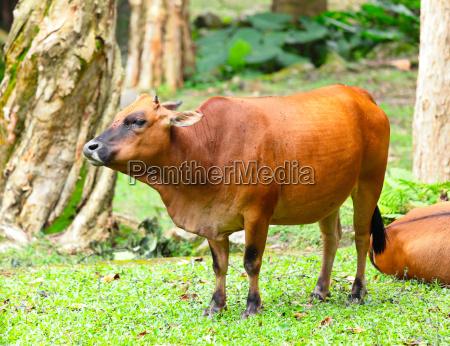 ambiente animal mamifero touro agricultura campo