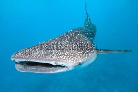 peixe animais selvagens tubarao wals mergulho