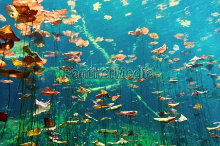 almofadas, de, lírio, no, cenote, aktun - 9730438