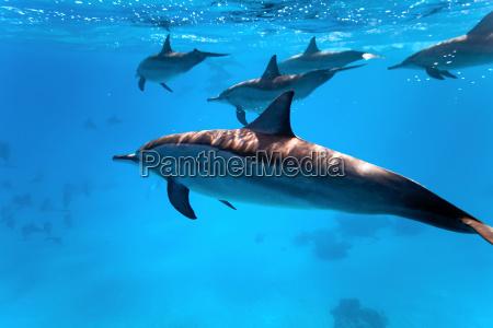 golfinho subaquatico mamiferos baleias comum agua
