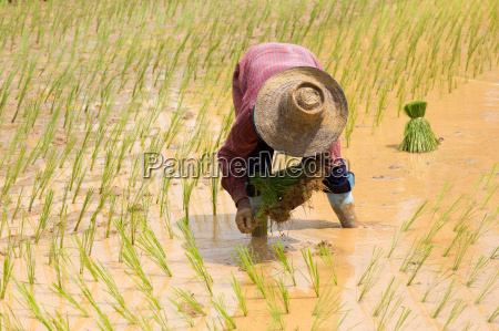 planta asia agricultura planta util campo
