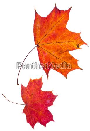 duas folhas de bordo vermelho outono