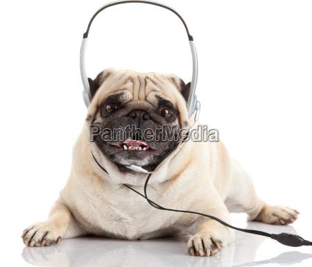 cão, ouvindo, música., , pug, dog - 10220731