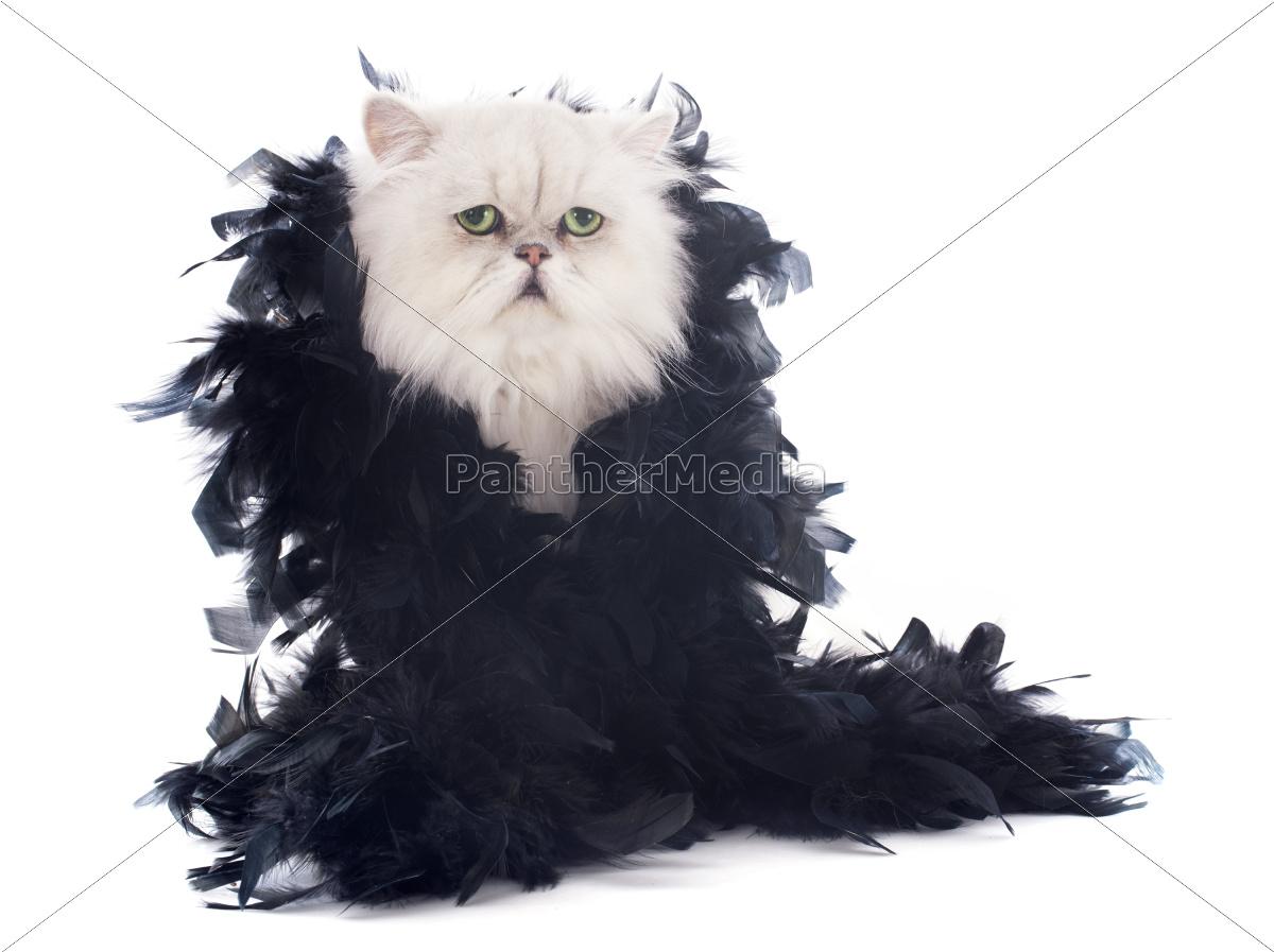 gato, persa, branco, e, boa - 10336451