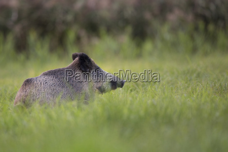 boar in the clearing