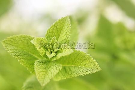 verde sabor limoes planta plantas