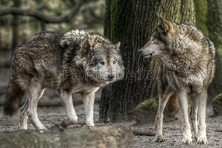 o lobo canis lupus