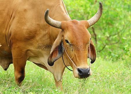 ambiente animal mamifero masculino touro agricultura