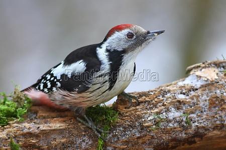 o oriente woodpecker manchado dendrocopos medius