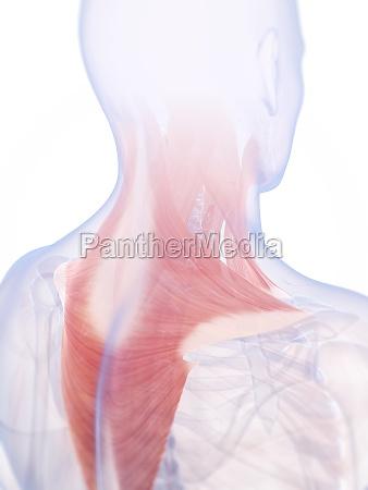 3d rendered illustration of the neck