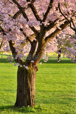 blooming cherry tree on lawn