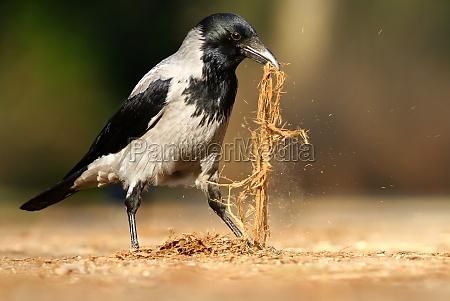 ambiente passaro passaros primavera corvo natureza