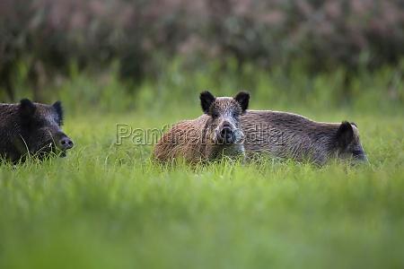 javalis no selvagem em uma clareira