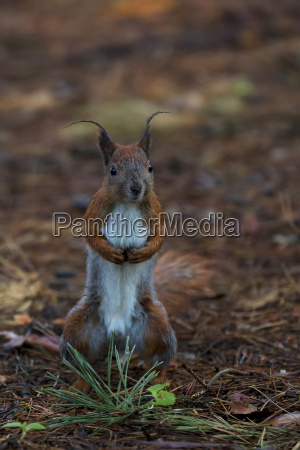 red squirrel in the forest in