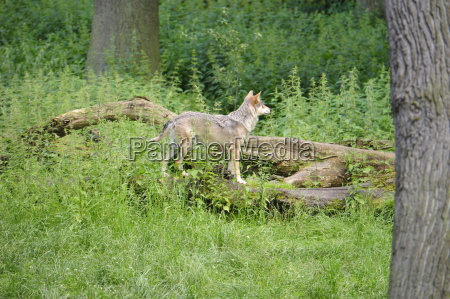 woelfe canis lupus