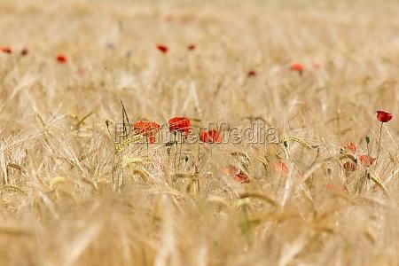 poppy no campo de milho