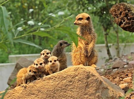 meerkat com jovem
