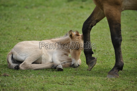 przewalski horse equus ferus przewalskii with