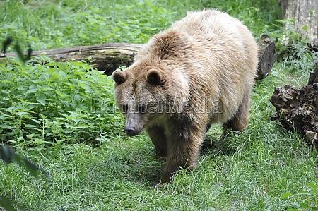 braunbaer ursus arctos