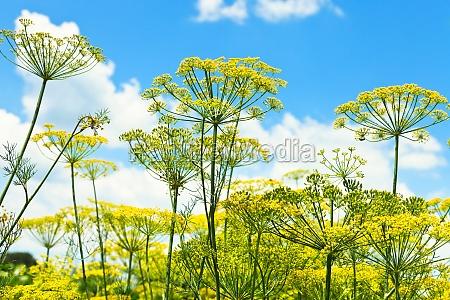 vista inferior de ervas de florescencia