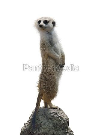 retrato de um meerkat