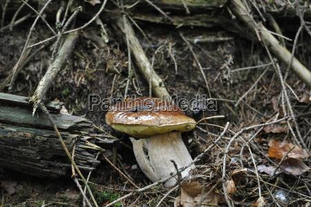 cep boletus edulis porcini mushroom