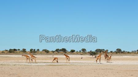 deserto africa animais selvagens safari girafa